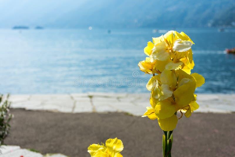 Flor amarela na frente do lago com reflexões da navigação e da água do barco no maggiore do lago do ascona fotografia de stock royalty free