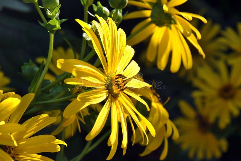 Flor amarela na luz do sol imagem de stock royalty free