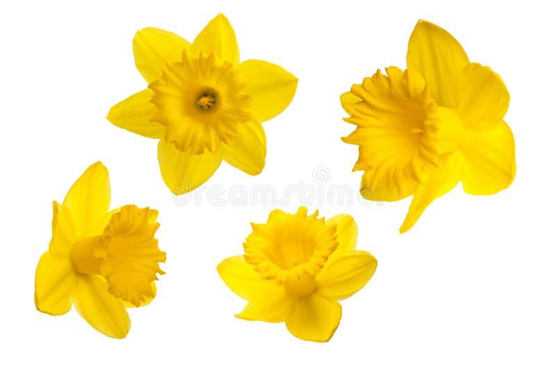 Flor amarela - narciso amarelo, no fundo branco imagens de stock royalty free