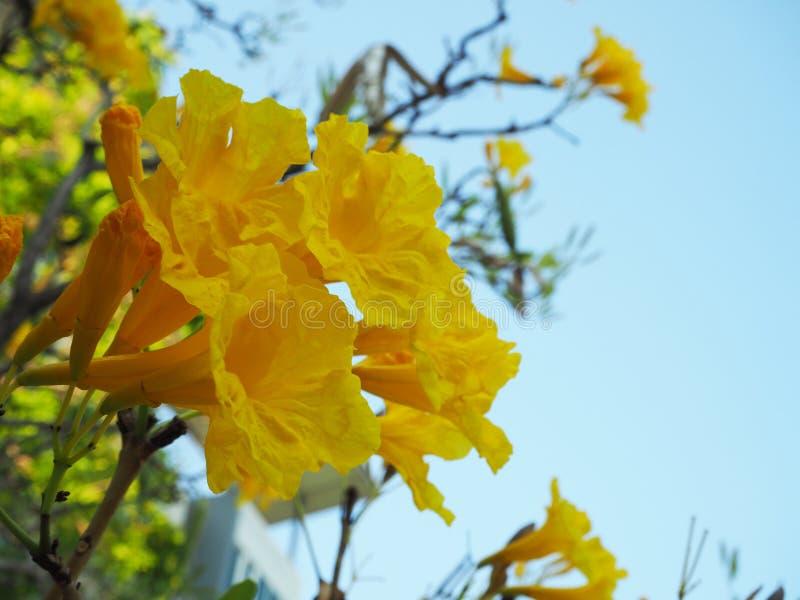 Flor amarela no céu azul imagem de stock