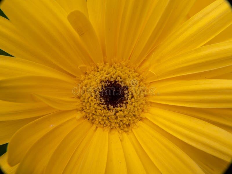flor amarela no fim acima imagem de stock