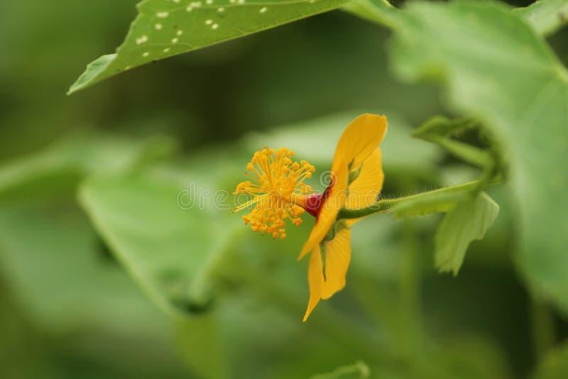 Flor amarela pequena com filamentos fotografia de stock