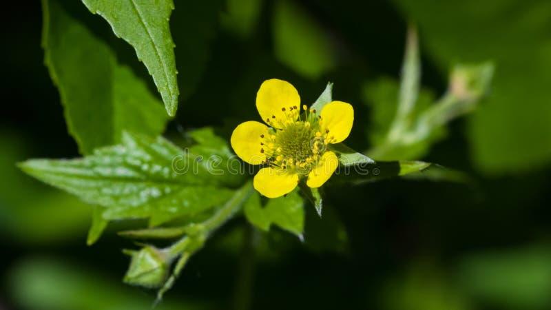 Flor amarela pequena do close-up do urbanum do avens de madeira ou do geum, foco seletivo, DOF raso fotografia de stock royalty free