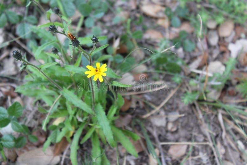Flor amarela pequena e humilde em Costa Llobera Garden, Barcelona fotografia de stock royalty free