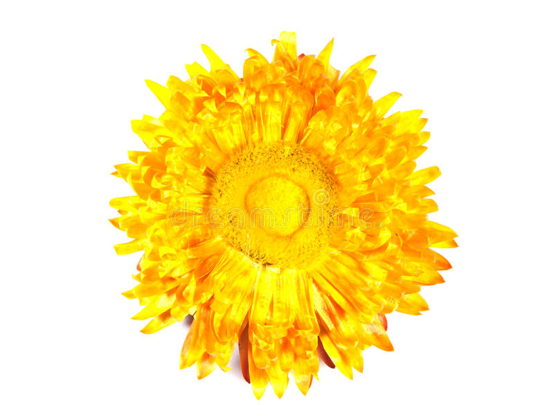 Flor amarela secada decorativa.  fotos de stock royalty free