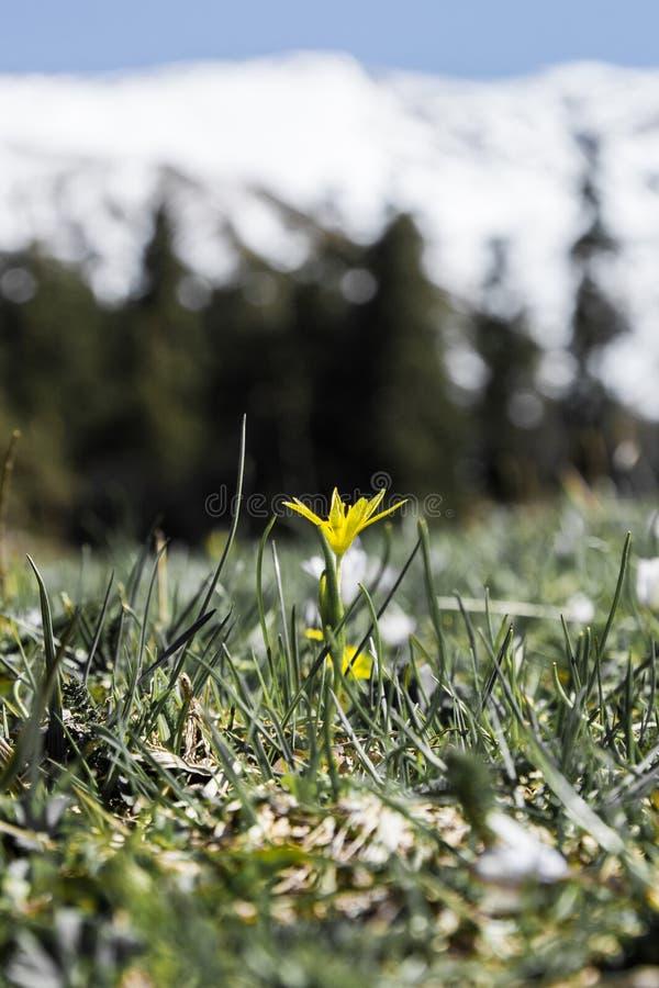 Flor amarela selvagem alta acima nas montanhas imagens de stock royalty free