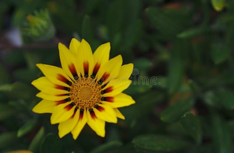 Flor amarela selvagem pequena fotos de stock