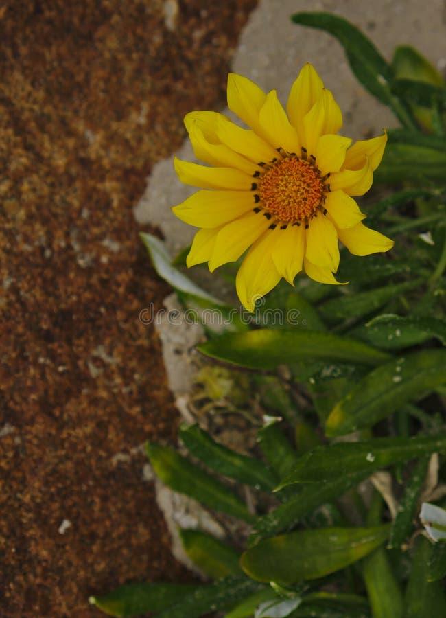 Flor amarela selvagem pequena foto de stock