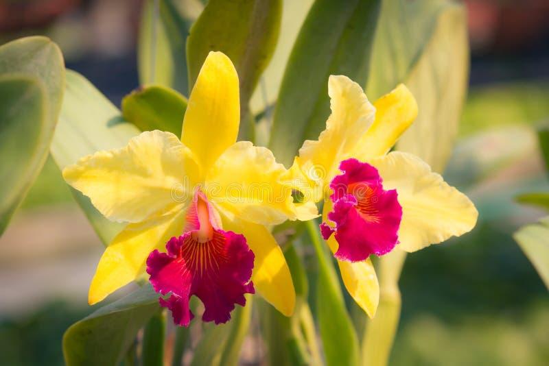 Flor amarela vermelha da orquídea de Cattleya foto de stock royalty free