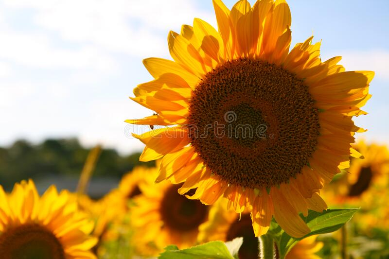 Flor Amarelo Castanho Sol durante o Dia imagens de stock royalty free