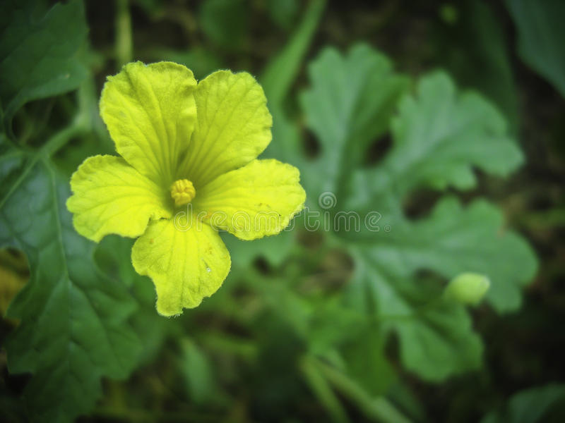 Flor amarga amarela impressionante da cabaça imagem de stock
