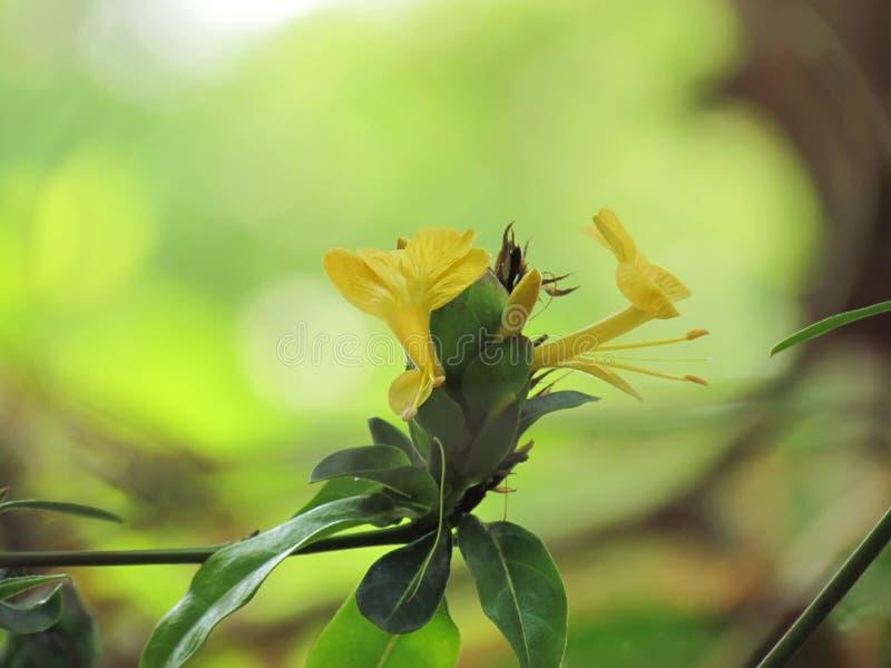 Flor amarilla Barleria dirigido salto, flor del puerco espín, floreciendo maravillosamente con luz del sol de la mañana en el jar imagen de archivo libre de regalías