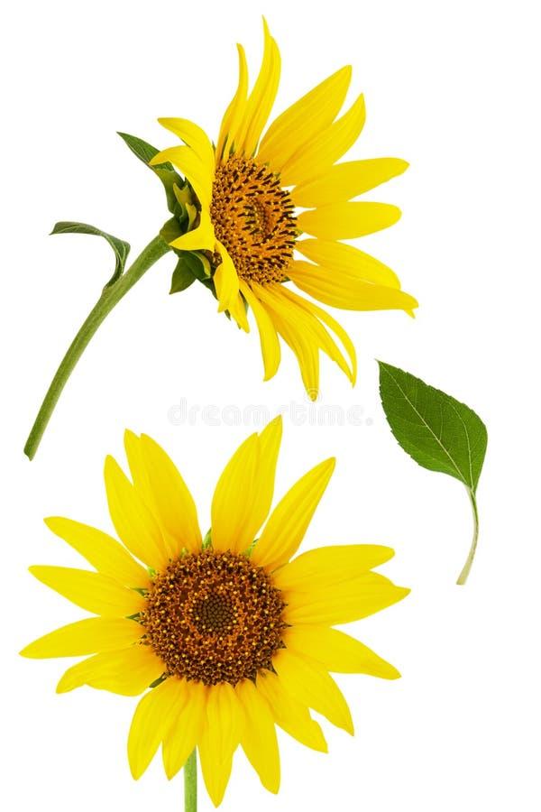 Flor amarilla brillante del girasol dos aislada en el fondo blanco con la hoja verde imágenes de archivo libres de regalías
