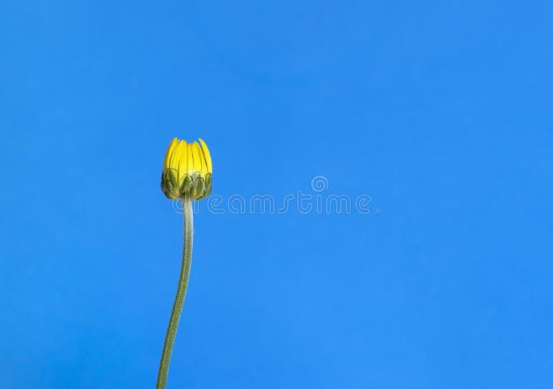 Flor amarilla cerrada del crisantemo aislada contra un fondo azul Concepto del verano con el espacio de la copia foto de archivo libre de regalías
