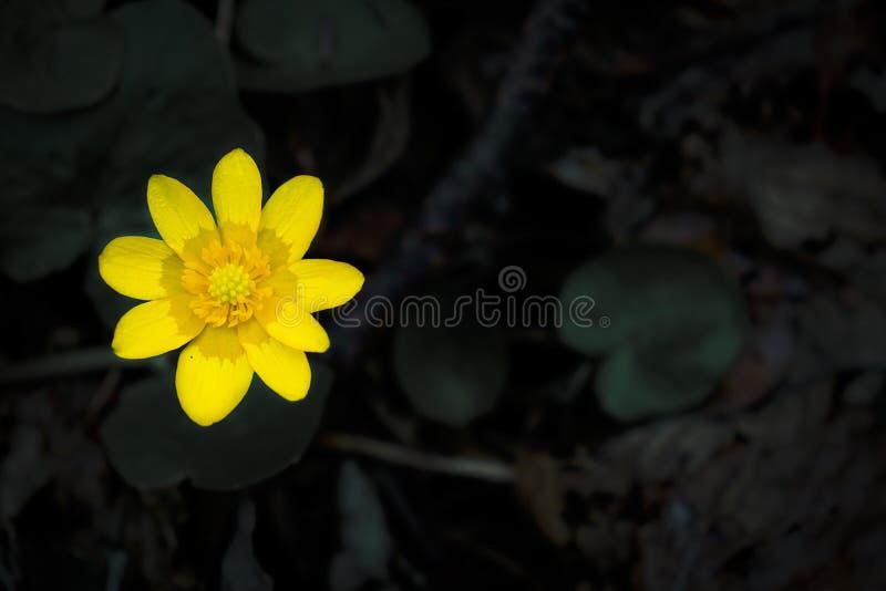 Flor amarilla con descensos del agua en fondo negro imagen de archivo libre de regalías
