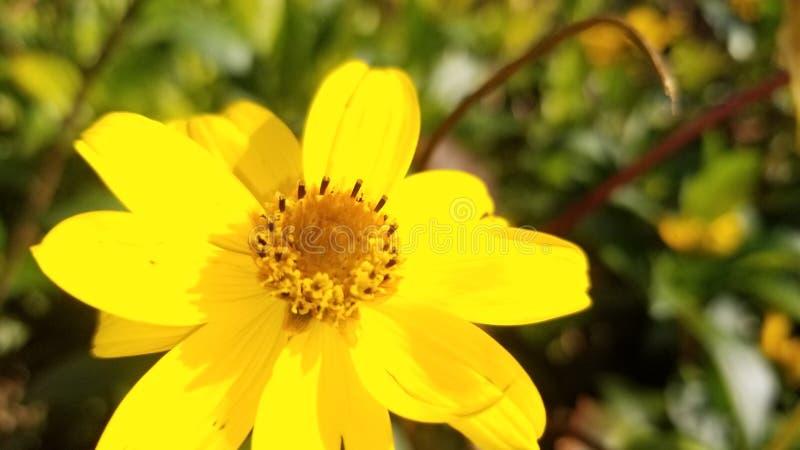 Flor amarilla con el fondo borroso imágenes de archivo libres de regalías