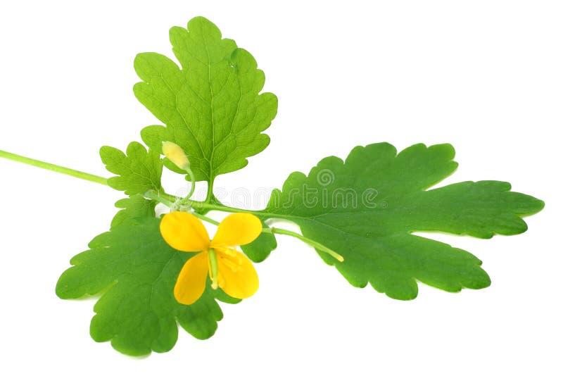 flor amarilla con la hoja verde aislada en el fondo blanco Visi?n superior imagen de archivo