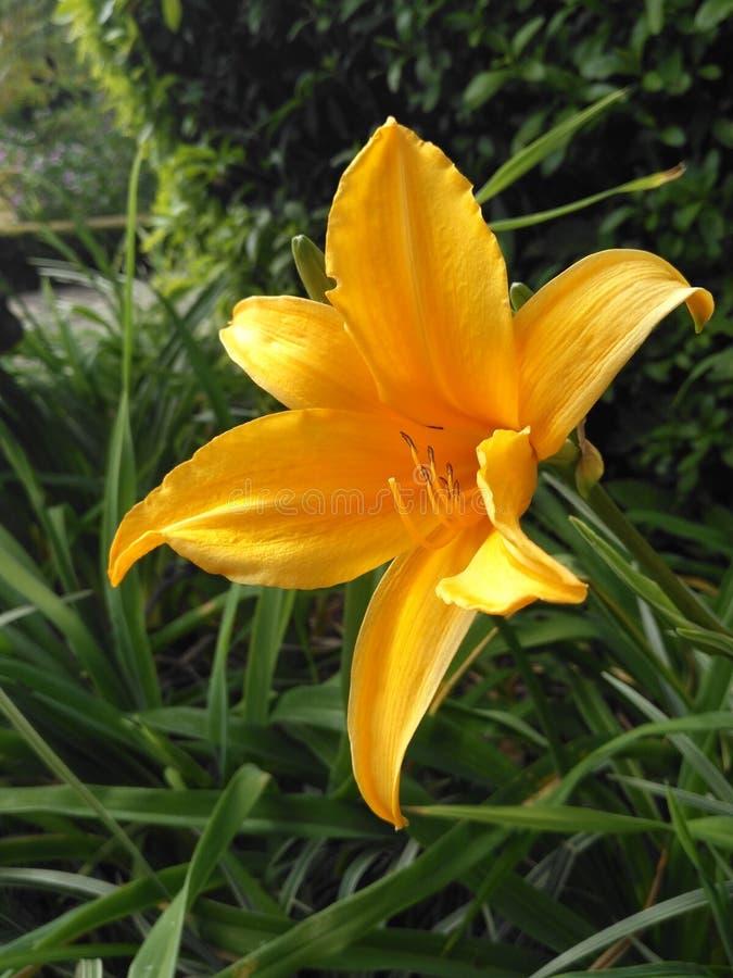 Flor amarilla con los pistilos largos del yelow fotografía de archivo