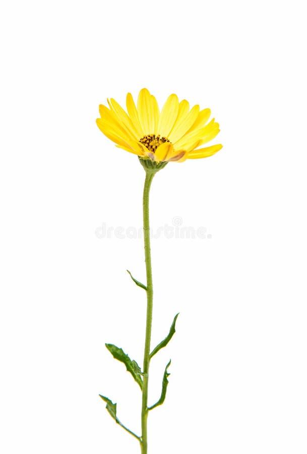 Flor amarilla Daisy Isolated de Osteospermum fotos de archivo libres de regalías