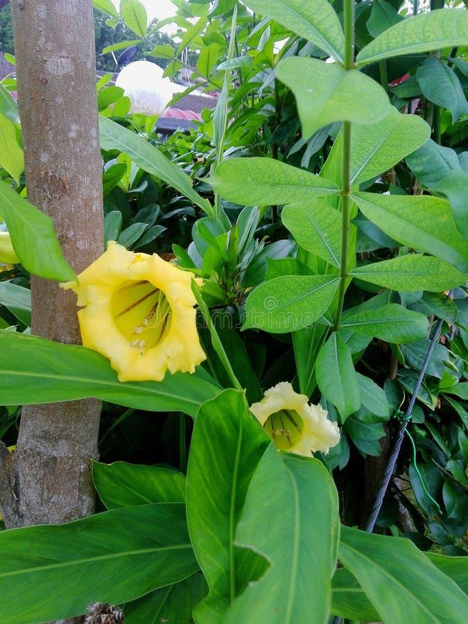 Flor amarilla de Bell imagen de archivo