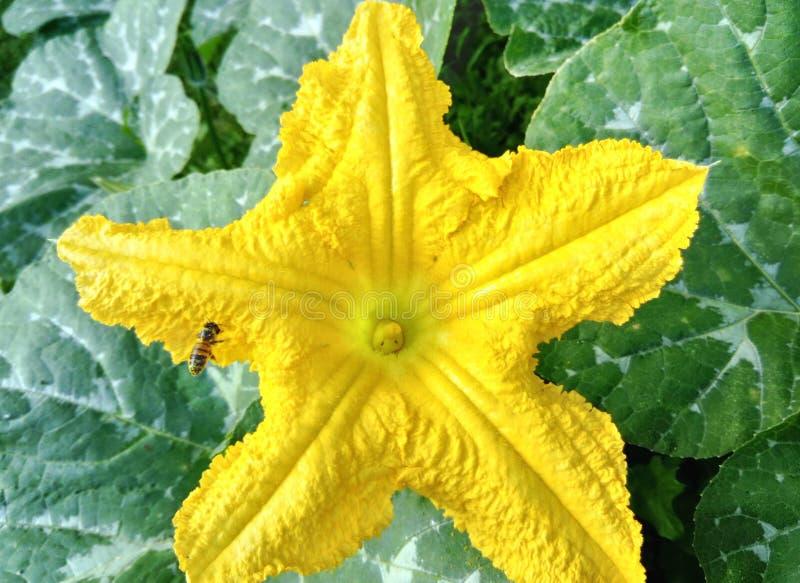 Flor amarilla de la calabaza de la estrella fotos de archivo