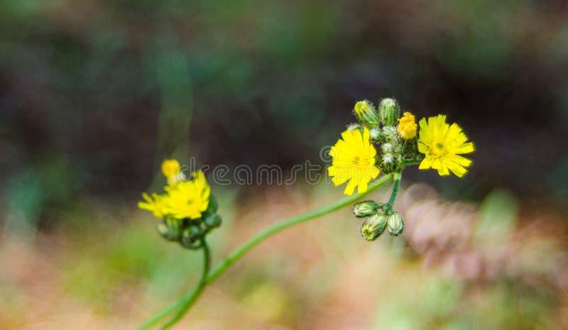 Flor amarilla de la mala hierba Ranúnculo, cierre para arriba en campo iluminado por el sol de la mañana fotografía de archivo