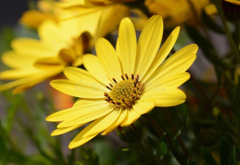 Flor amarilla de la margarita africana foto de archivo libre de regalías