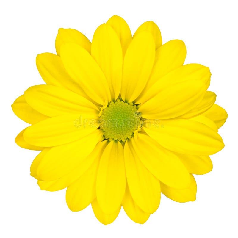 Flor amarilla de la margarita con el centro verde aislado imagen de archivo