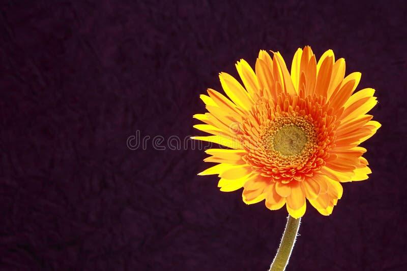 Flor amarilla de la margarita con el contraluz foto de archivo libre de regalías