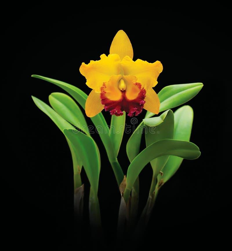 Flor amarilla de la orquídea del cattleya en negro foto de archivo libre de regalías