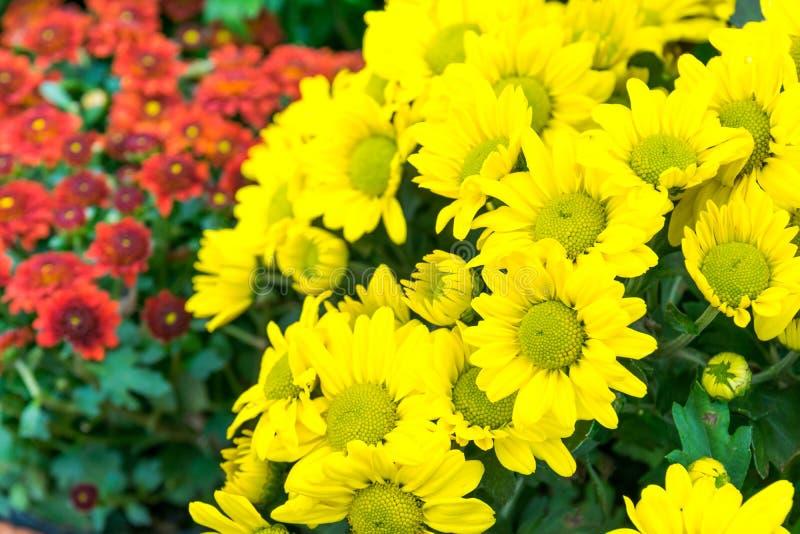 Download Flor Amarilla De Oro De La Maravilla Foto de archivo - Imagen de botánico, belleza: 64207746