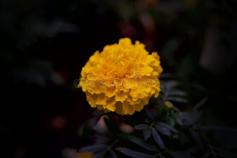 Flor amarilla de Rosa Bianca del La con el fondo negro suave del bokeh fotografía de archivo