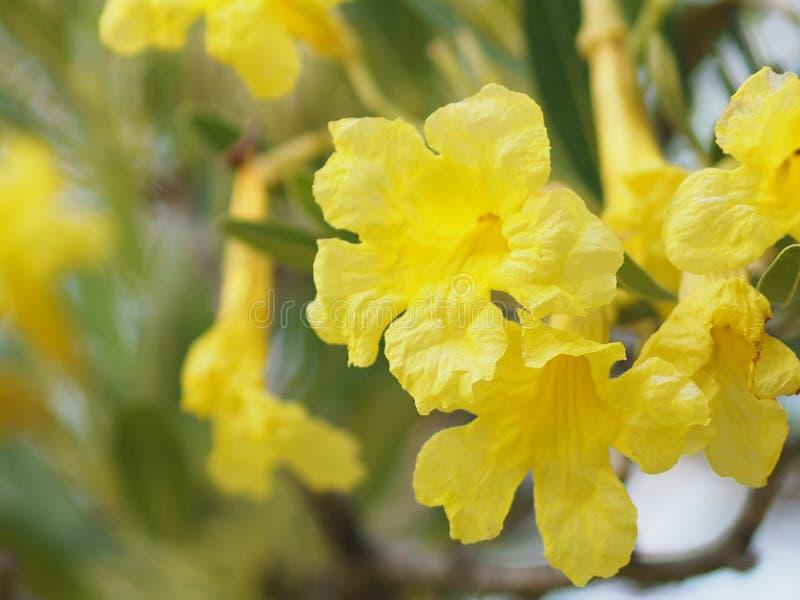 Flor amarilla de Rose Bay del adelfa dulce del adelfa del Apocynaceae del adelfa del Nerium de la fragilidad del pétalo hermosa e foto de archivo libre de regalías