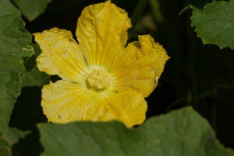 Flor amarilla de una calabaza verde fotos de archivo