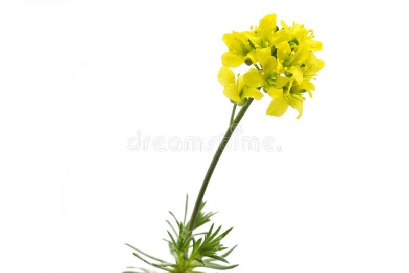 Flor amarilla de Whitlowgrass (aizoides de Draba) imágenes de archivo libres de regalías