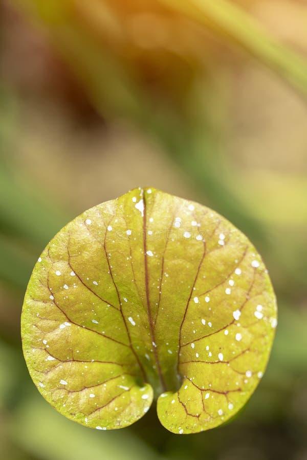 Flor amarilla del Anthurium fotografía de archivo libre de regalías