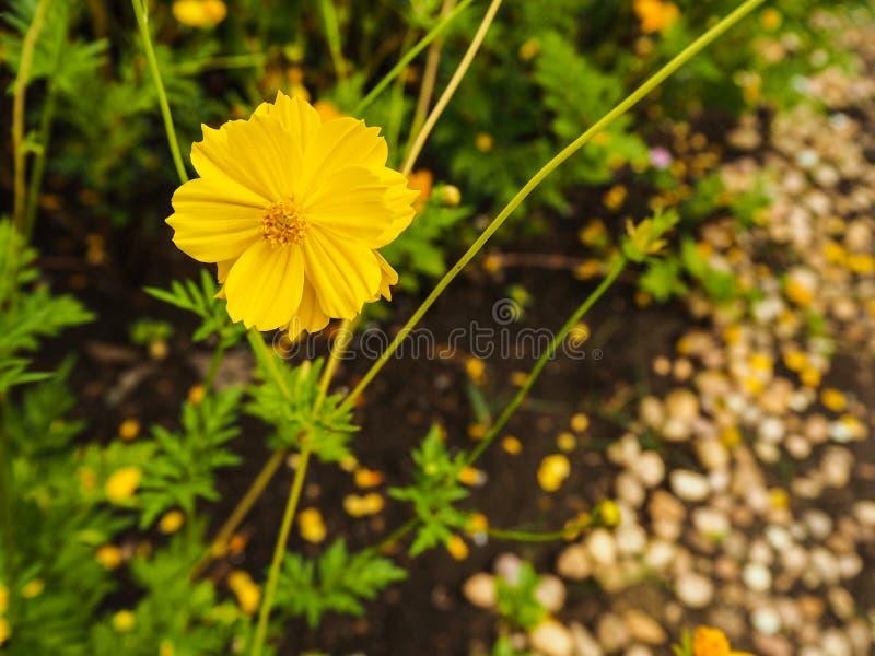 Flor amarilla del azufre del cosmos fotos de archivo libres de regalías