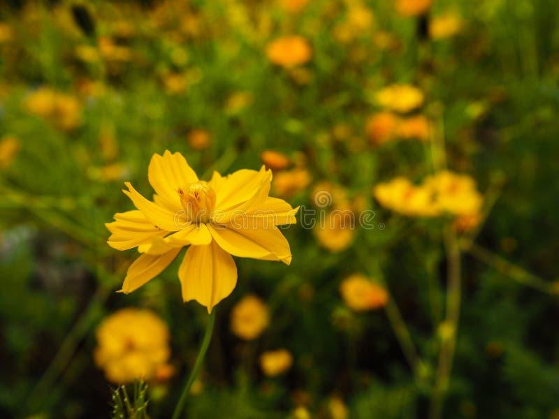 Flor amarilla del azufre del cosmos foto de archivo
