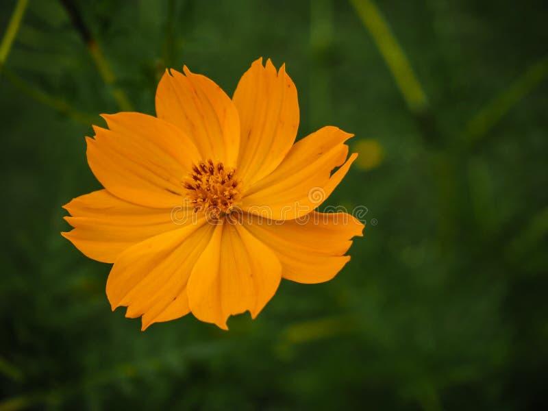 Flor amarilla del azufre del cosmos fotografía de archivo libre de regalías