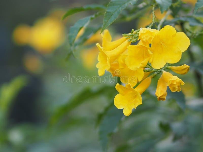 Flor amarilla del Bignoniaceae de Lamiales del Magnoliophyta de los stans de Tecoma hermosa en fondo de la falta de definición de imagen de archivo libre de regalías