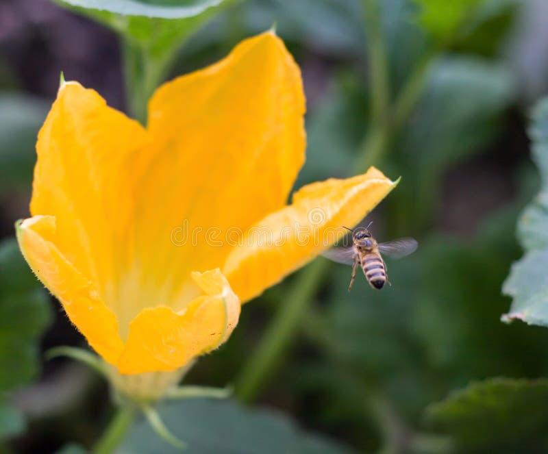 Flor amarilla del calabacín en un cierre del arbusto para arriba fotos de archivo libres de regalías