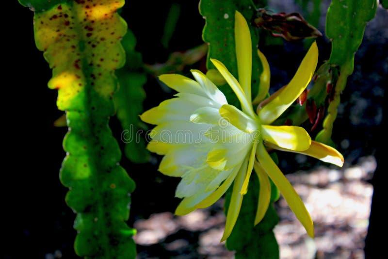 Flor amarilla del cirio Noche-floreciente foto de archivo libre de regalías