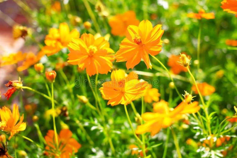 Flor amarilla del cosmos imagen de archivo