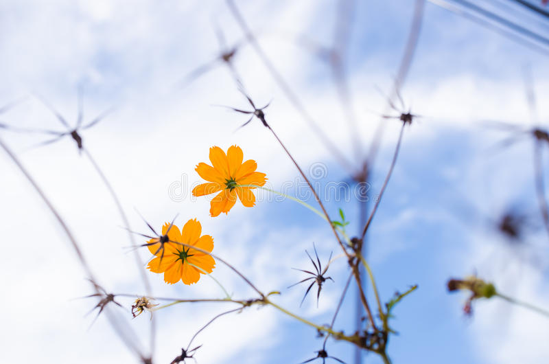 Flor amarilla del cosmos foto de archivo libre de regalías
