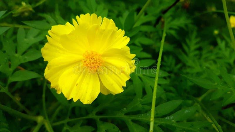 Flor amarilla del cosmos foto de archivo