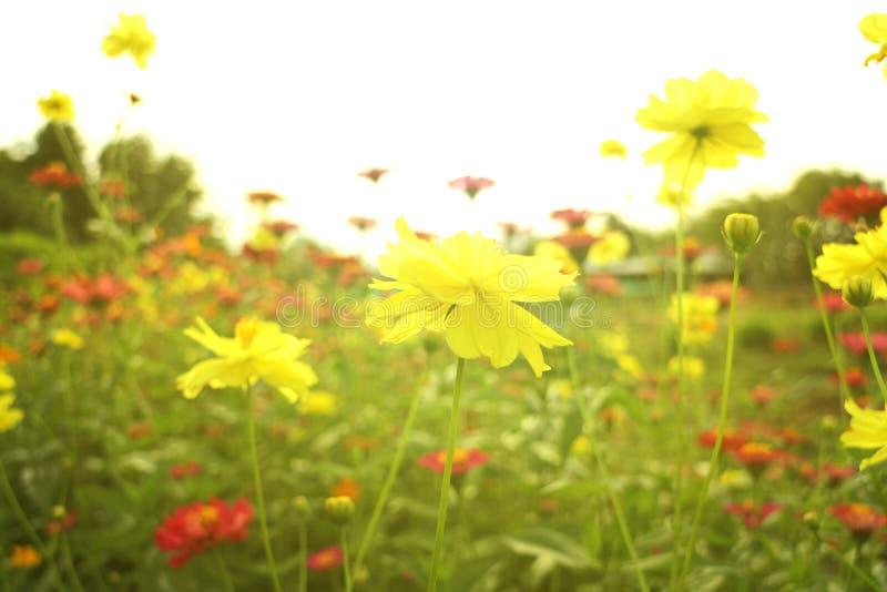 Flor amarilla del cosmos del azufre con la luz de la llamarada de Sun imagen de archivo libre de regalías