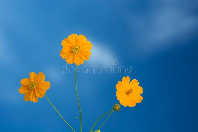 Flor amarilla del cosmos como cielo azul imágenes de archivo libres de regalías