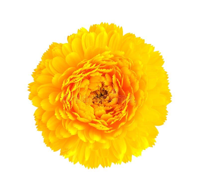 Flor amarilla del crisantemo foto de archivo libre de regalías