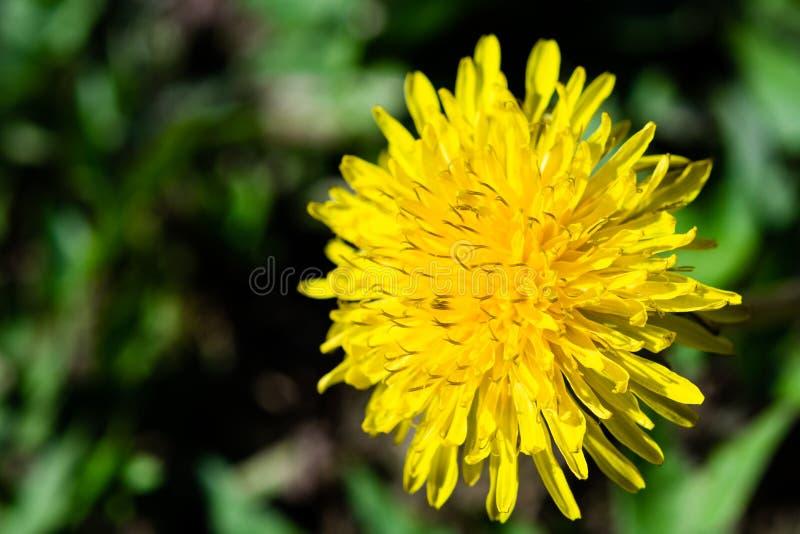 Flor amarilla del diente de león en imagen macra del primer fotos de archivo
