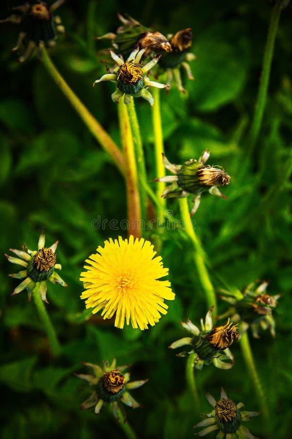Flor amarilla del diente de león en un prado verde imagen de archivo